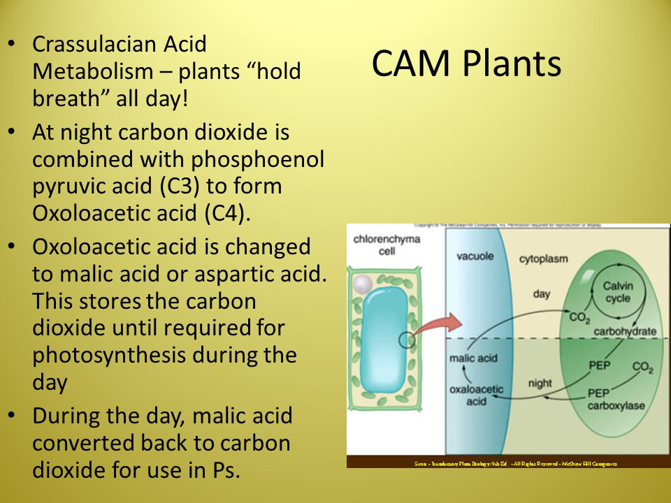 CAM Plants Crassulacian Acid Metabolism – plants hold breath all day!