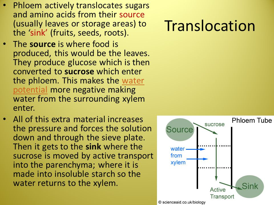 Phloem actively translocates sugars and amino acids from their source (usually leaves or storage areas) to the 'sink' (fruits, seeds, roots).