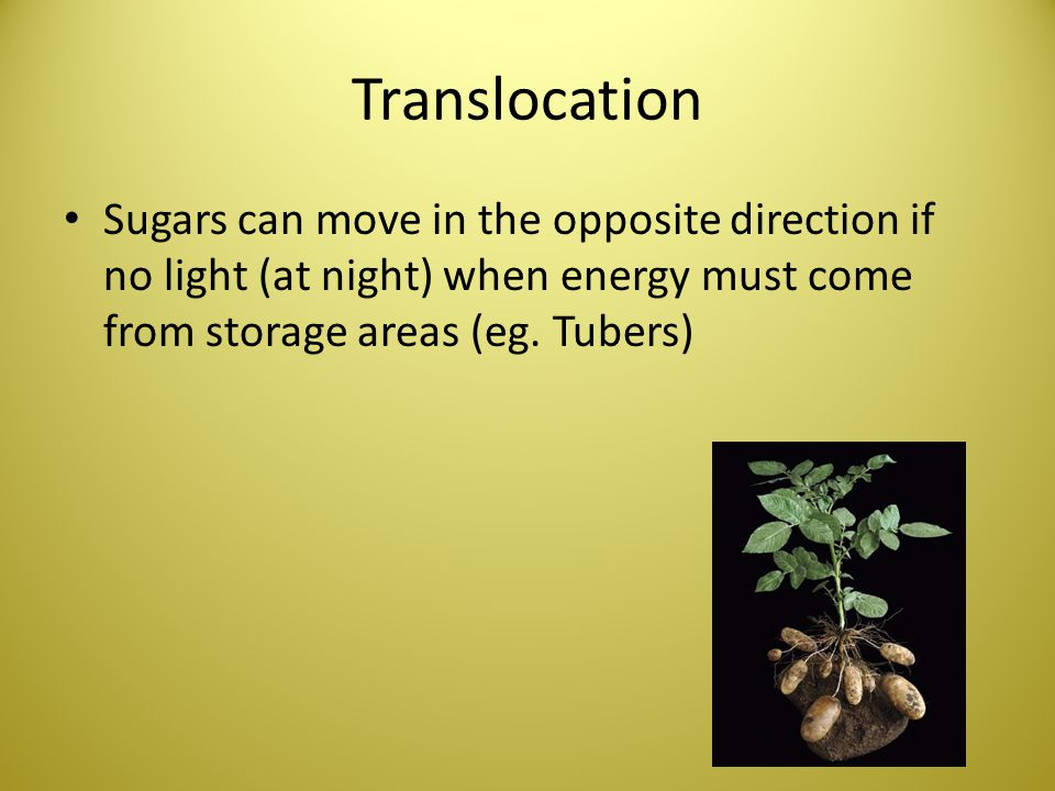 Translocation Sugars can move in the opposite direction if no light (at night) when energy must come from storage areas (eg.