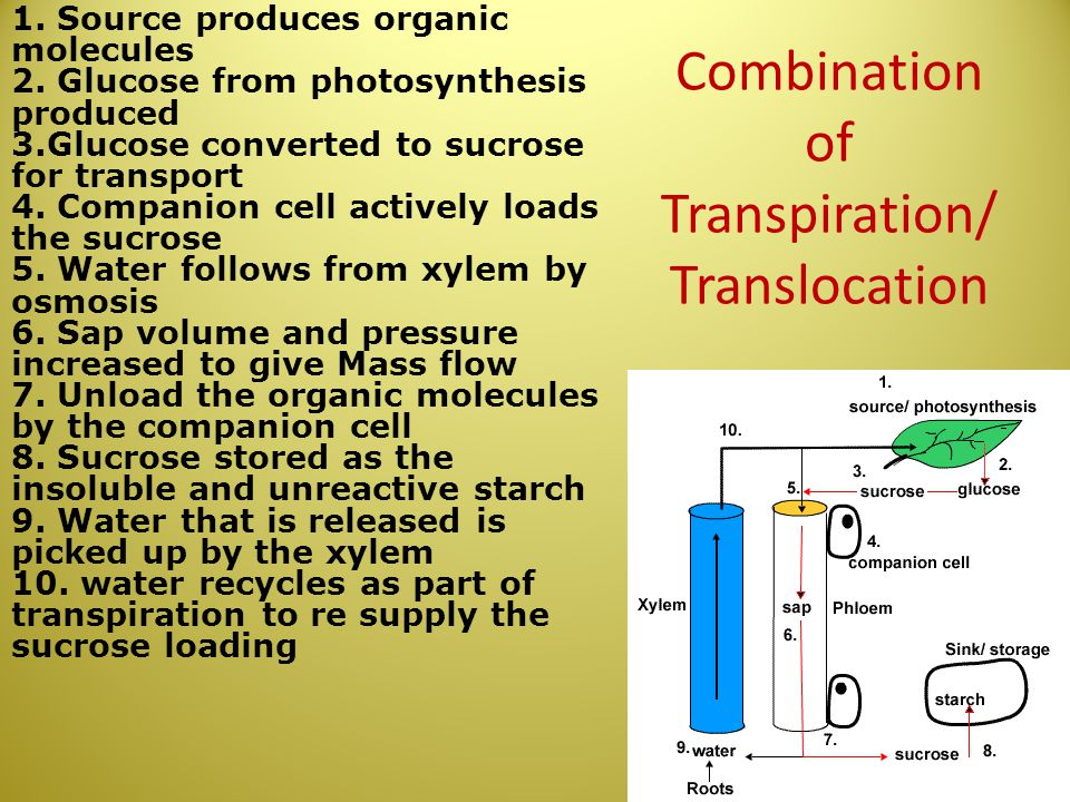 Combination of Transpiration/Translocation