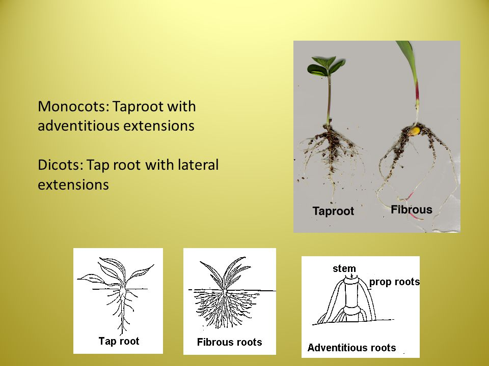 Monocots: Taproot with adventitious extensions