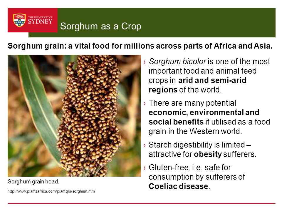 Sorghum as a Crop Sorghum grain: a vital food for millions across parts of Africa and Asia.
