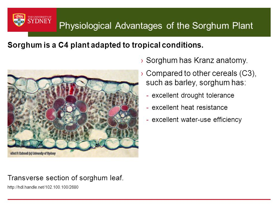 Physiological Advantages of the Sorghum Plant