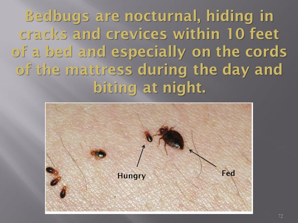 Bedbugs are nocturnal, hiding in cracks and crevices within 10 feet of a bed and especially on the cords of the mattress during the day and biting at night.