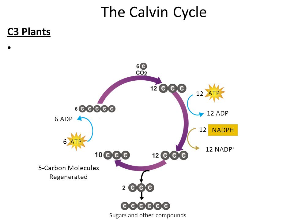 The Calvin Cycle C3 Plants 12 12 ADP 6 ADP 12 NADPH 6 12 NADP+