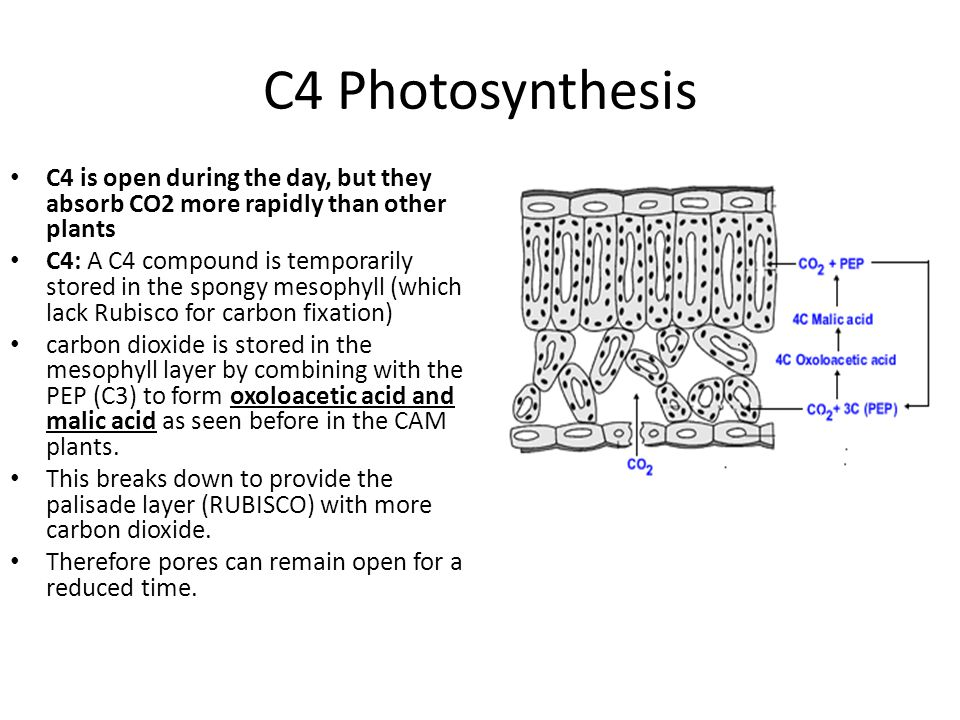 C4 Photosynthesis C4 is open during the day, but they absorb CO2 more rapidly than other plants.