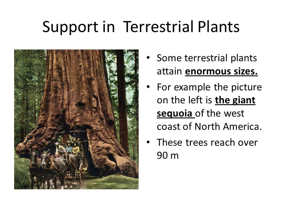 Support in Terrestrial Plants