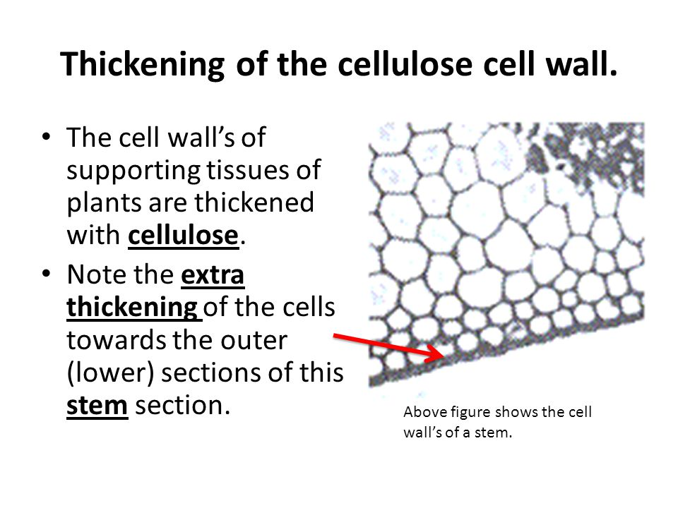 Thickening of the cellulose cell wall.