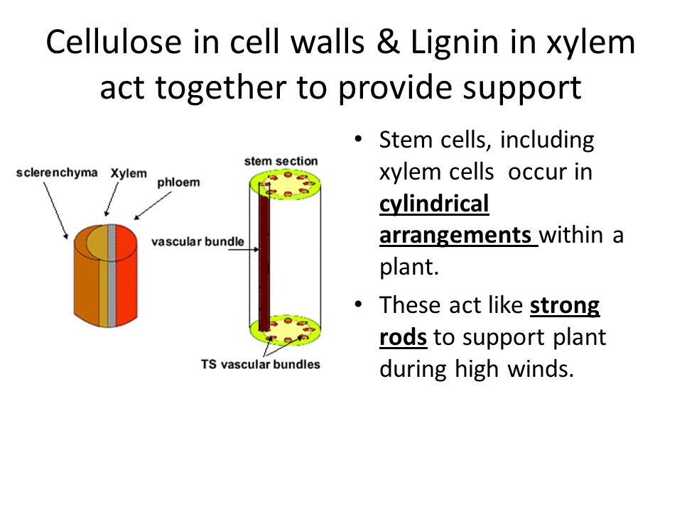 Cellulose in cell walls & Lignin in xylem act together to provide support
