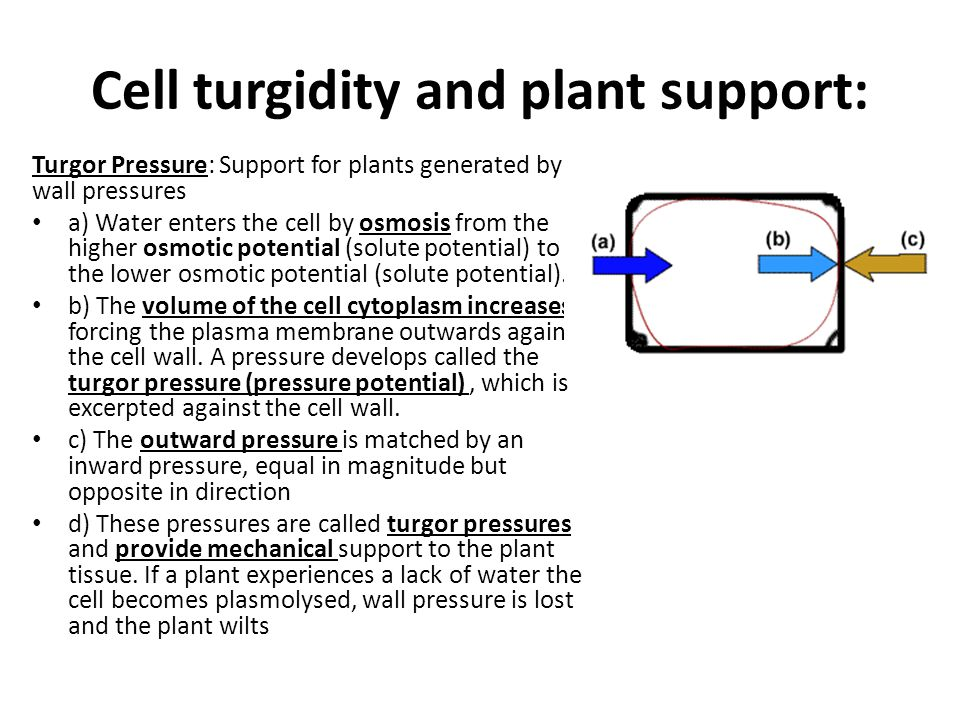 Cell turgidity and plant support: