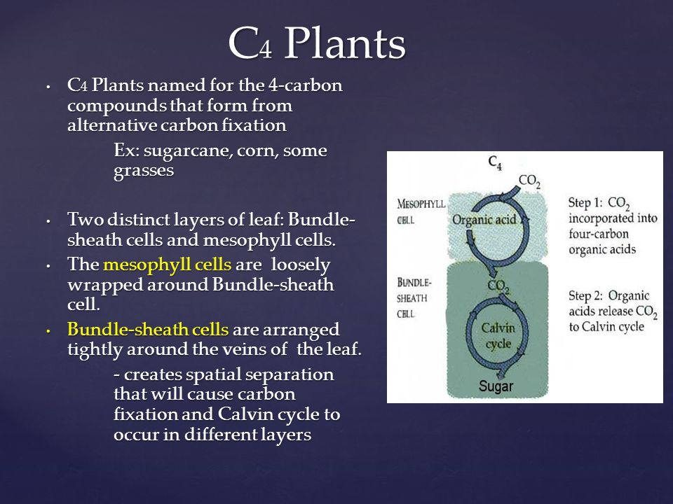C4 Plants C4 Plants named for the 4-carbon compounds that form from alternative carbon fixation. Ex: sugarcane, corn, some grasses.
