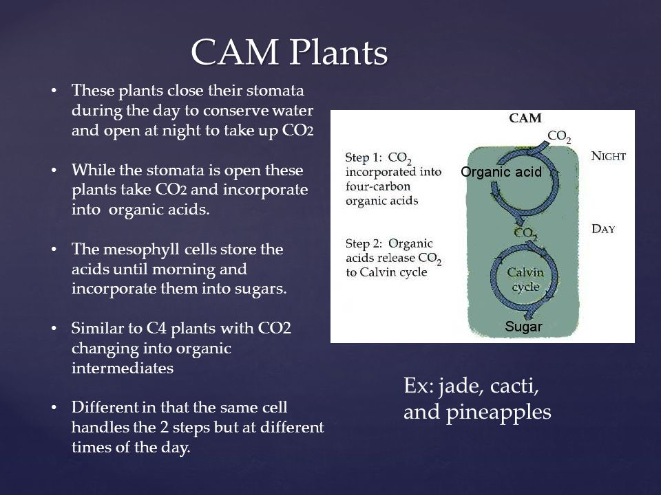 CAM Plants Ex: jade, cacti, and pineapples