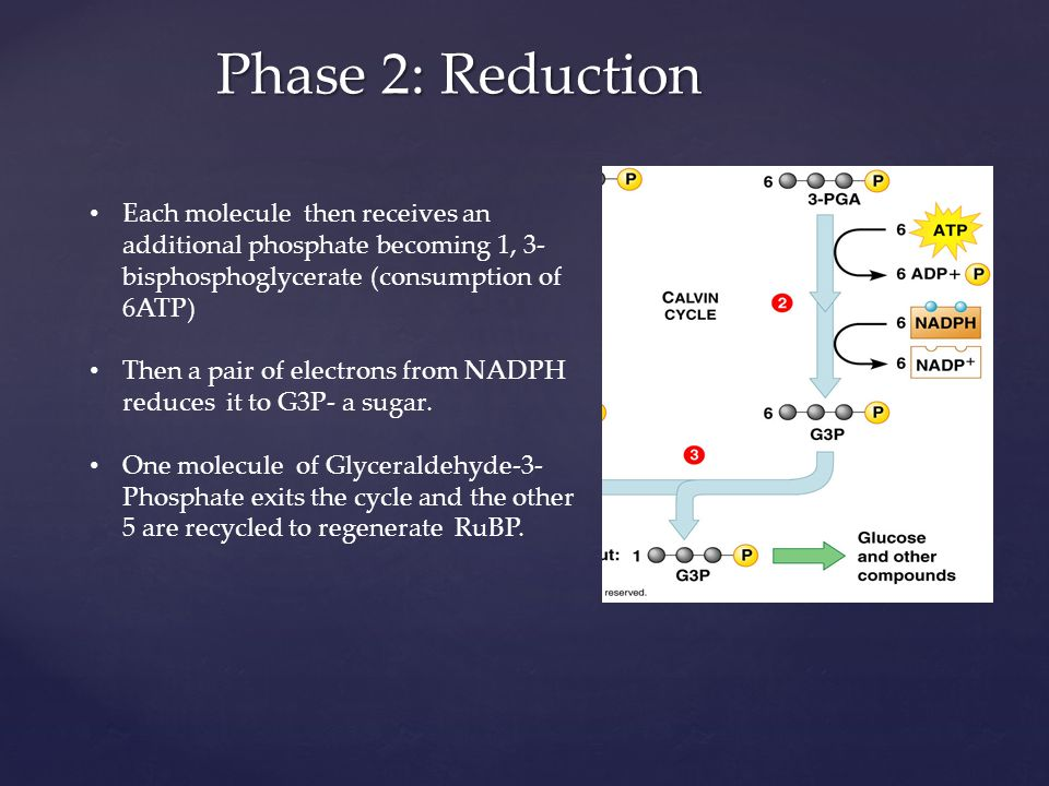 Phase 2: Reduction Each molecule then receives an additional phosphate becoming 1, 3-bisphosphoglycerate (consumption of 6ATP)