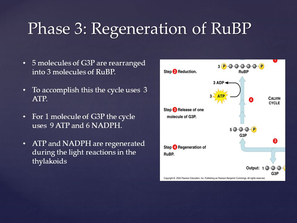 Phase 3: Regeneration of RuBP