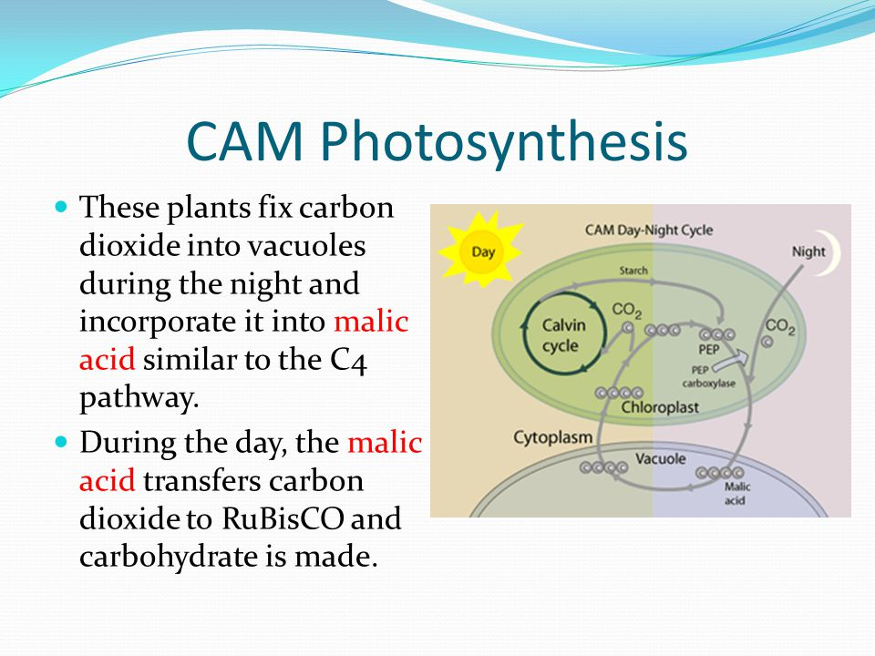 CAM Photosynthesis These plants fix carbon dioxide into vacuoles during the night and incorporate it into malic acid similar to the C4 pathway.
