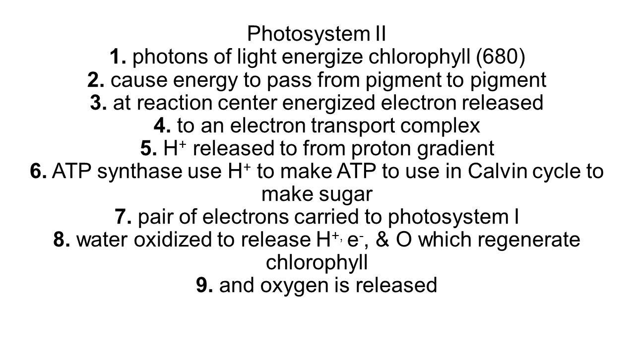 Photosystem II 1. photons of light energize chlorophyll (680) 2