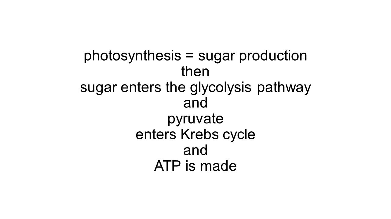 photosynthesis = sugar production then sugar enters the glycolysis pathway and pyruvate enters Krebs cycle and ATP is made