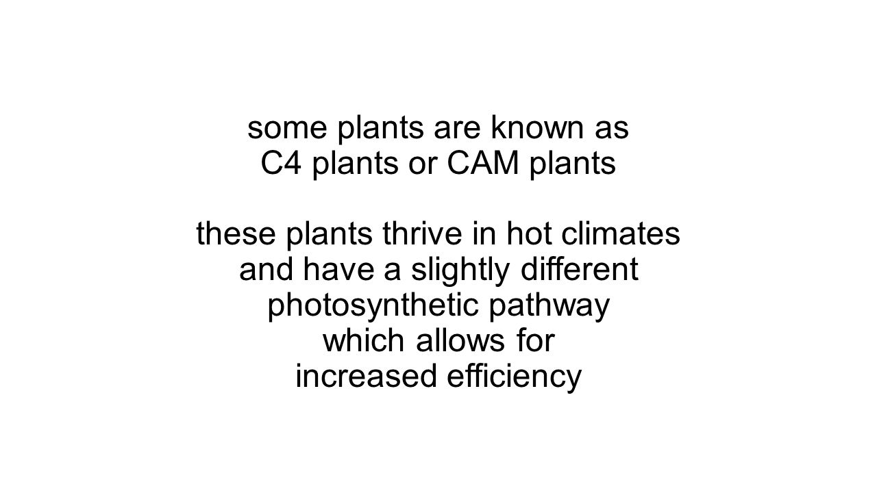 some plants are known as C4 plants or CAM plants these plants thrive in hot climates and have a slightly different photosynthetic pathway which allows for increased efficiency