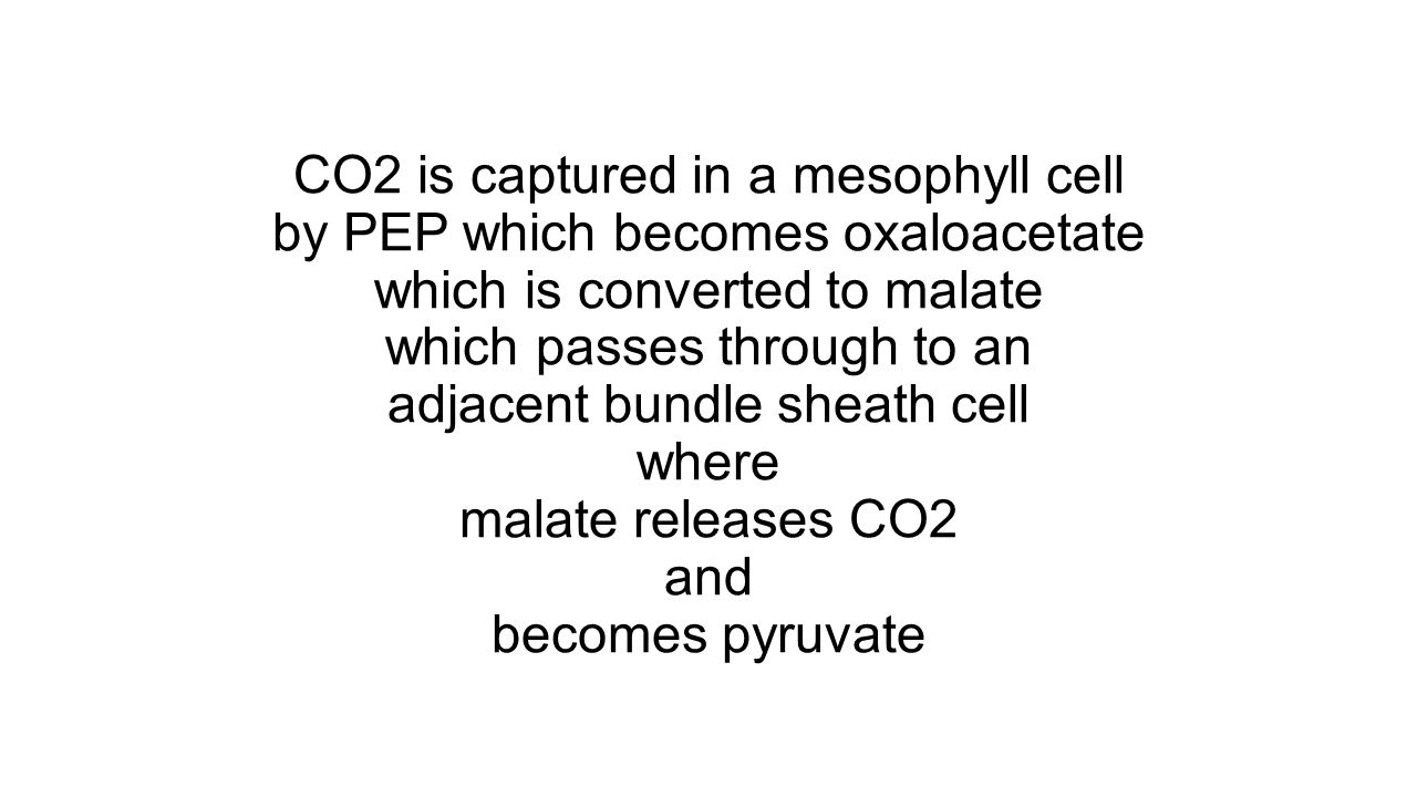 CO2 is captured in a mesophyll cell by PEP which becomes oxaloacetate which is converted to malate which passes through to an adjacent bundle sheath cell where malate releases CO2 and becomes pyruvate