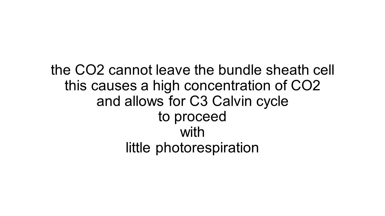the CO2 cannot leave the bundle sheath cell this causes a high concentration of CO2 and allows for C3 Calvin cycle to proceed with little photorespiration