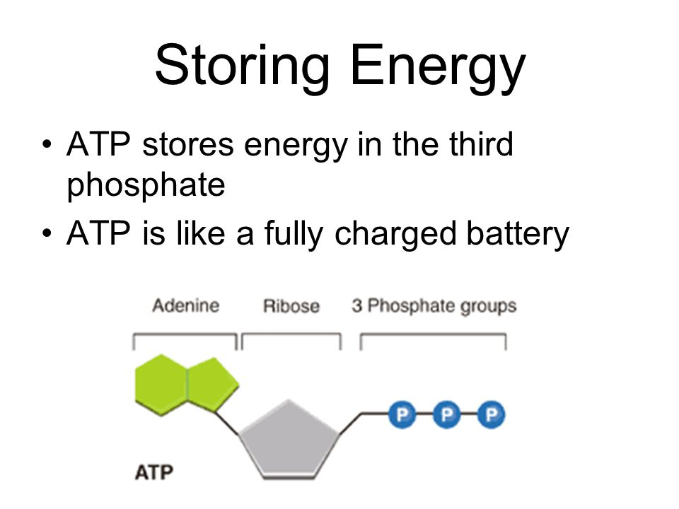 Storing Energy ATP stores energy in the third phosphate