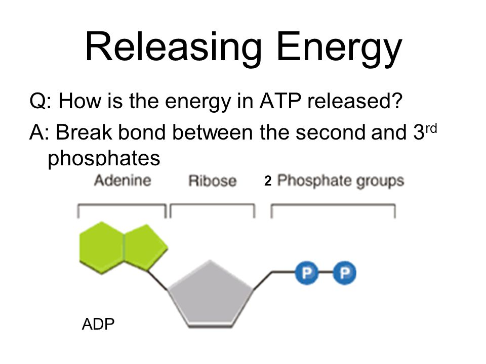 Releasing Energy Q: How is the energy in ATP released