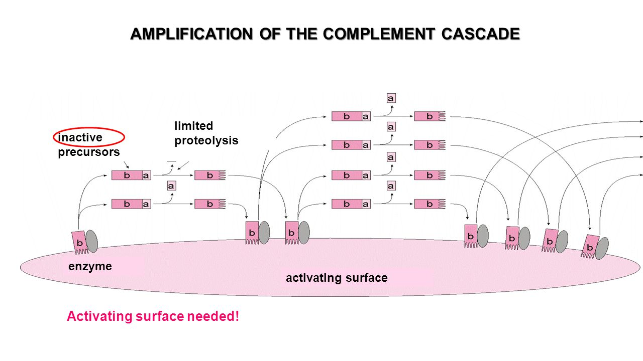 AMPLIFICATION OF THE COMPLEMENT CASCADE