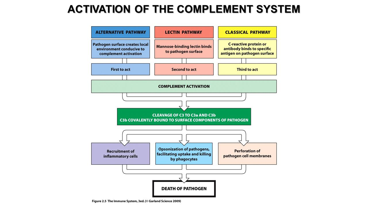 ACTIVATION OF THE COMPLEMENT SYSTEM