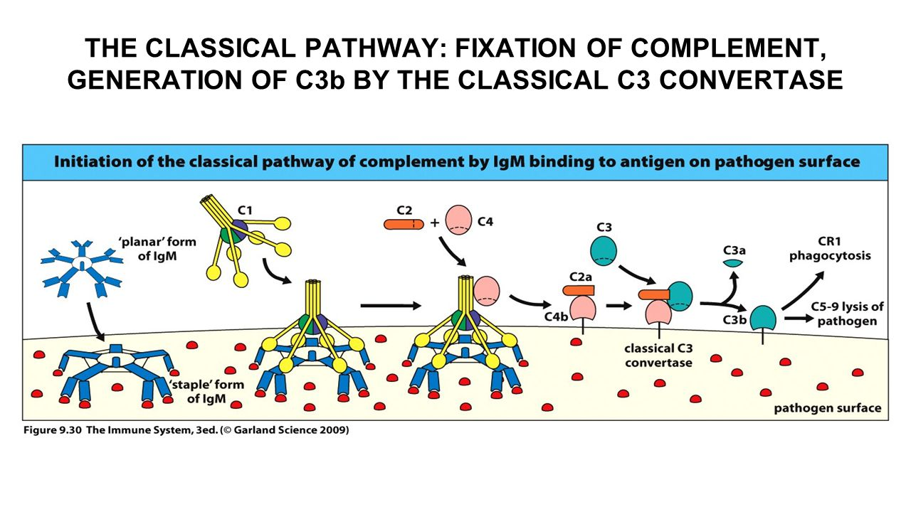 THE CLASSICAL PATHWAY: FIXATION OF COMPLEMENT, GENERATION OF C3b BY THE CLASSICAL C3 CONVERTASE