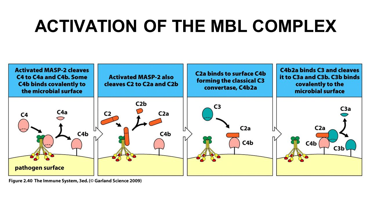 ACTIVATION OF THE MBL COMPLEX