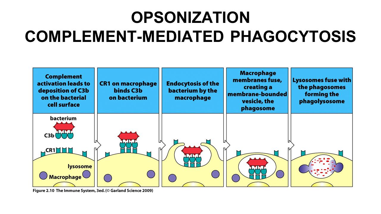 OPSONIZATION COMPLEMENT-MEDIATED PHAGOCYTOSIS