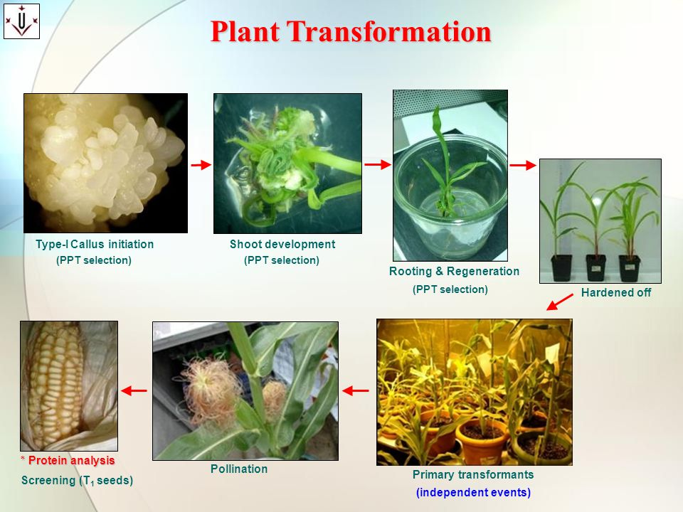 Plant Transformation Type-I Callus initiation Shoot development