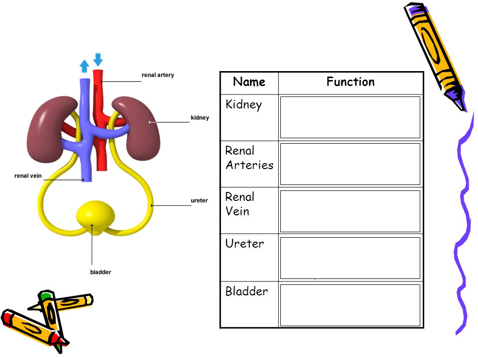Name Function. Kidney. Filter blood. Remove excess water and urea. Renal Arteries. Supply blood to the kidneys.