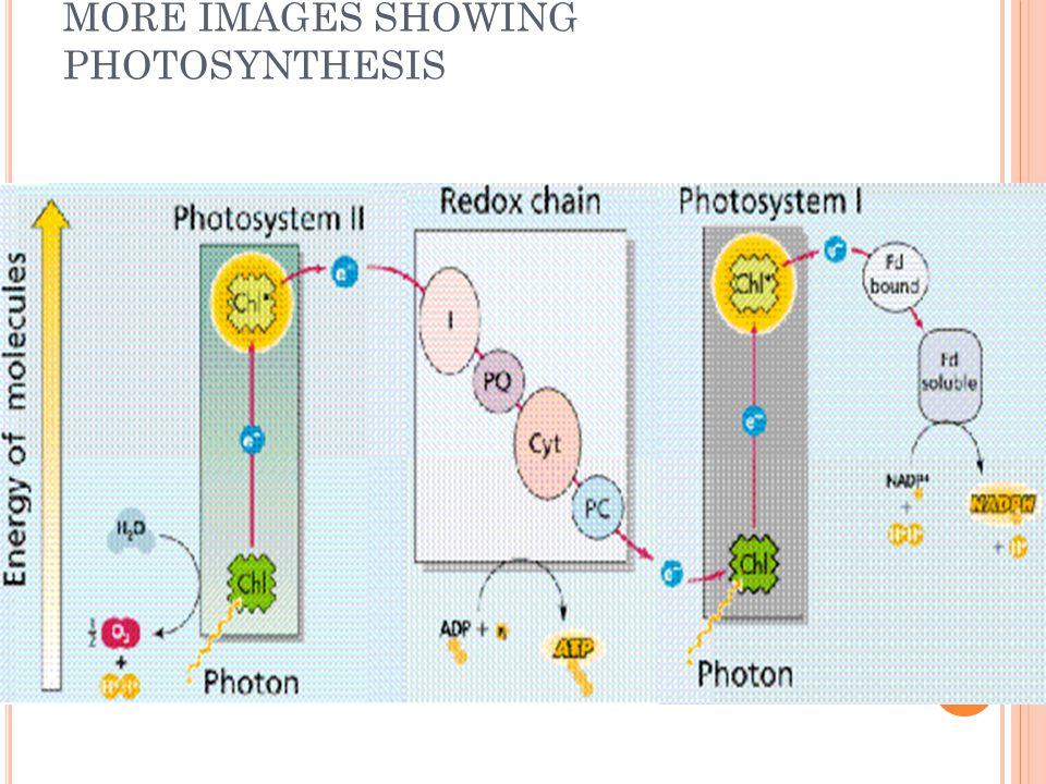 MORE IMAGES SHOWING PHOTOSYNTHESIS