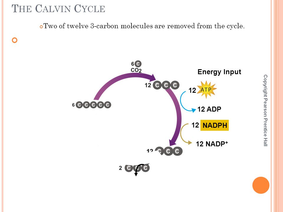 The Calvin Cycle Two of twelve 3-carbon molecules are removed from the cycle. Energy Input. 12. 12 ADP.
