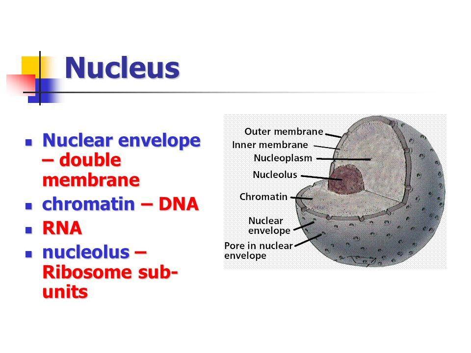 Nucleus Nuclear envelope – double membrane chromatin – DNA RNA