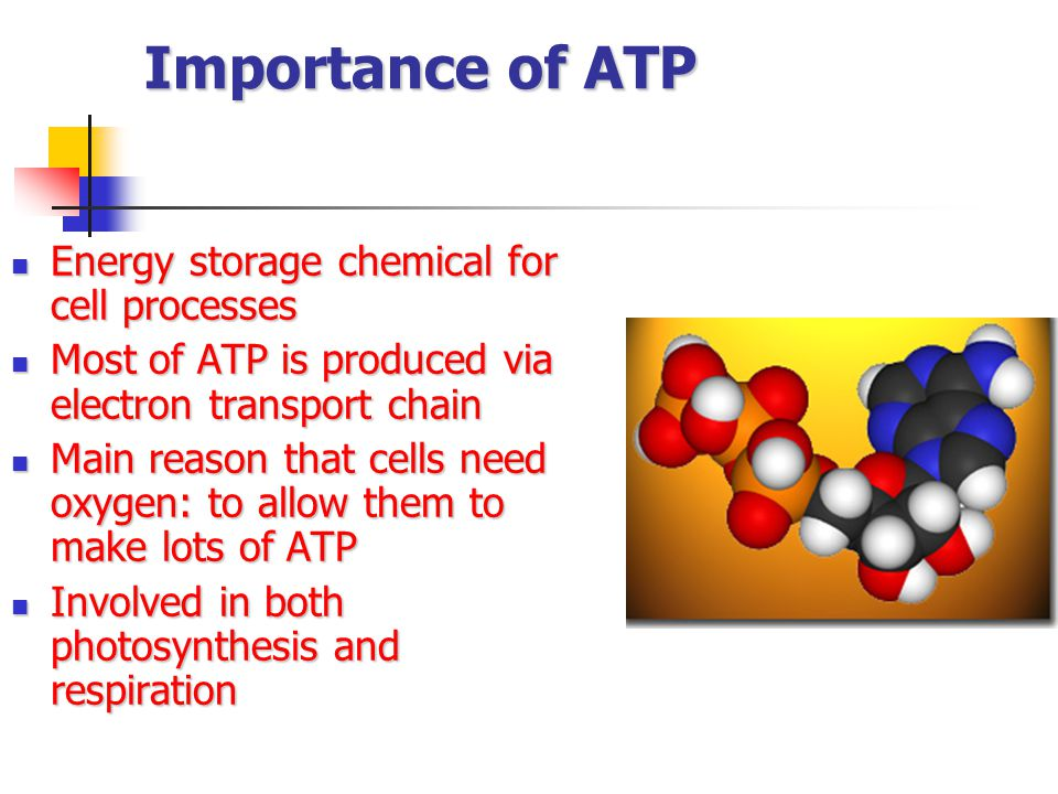 Importance of ATP Energy storage chemical for cell processes