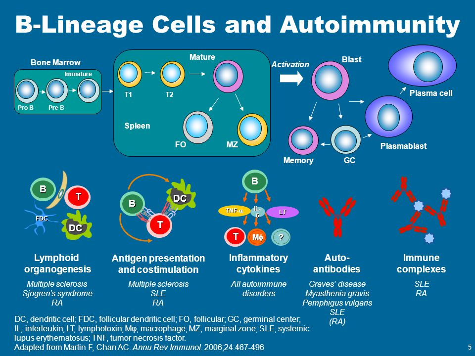 B-Lineage Cells and Autoimmunity