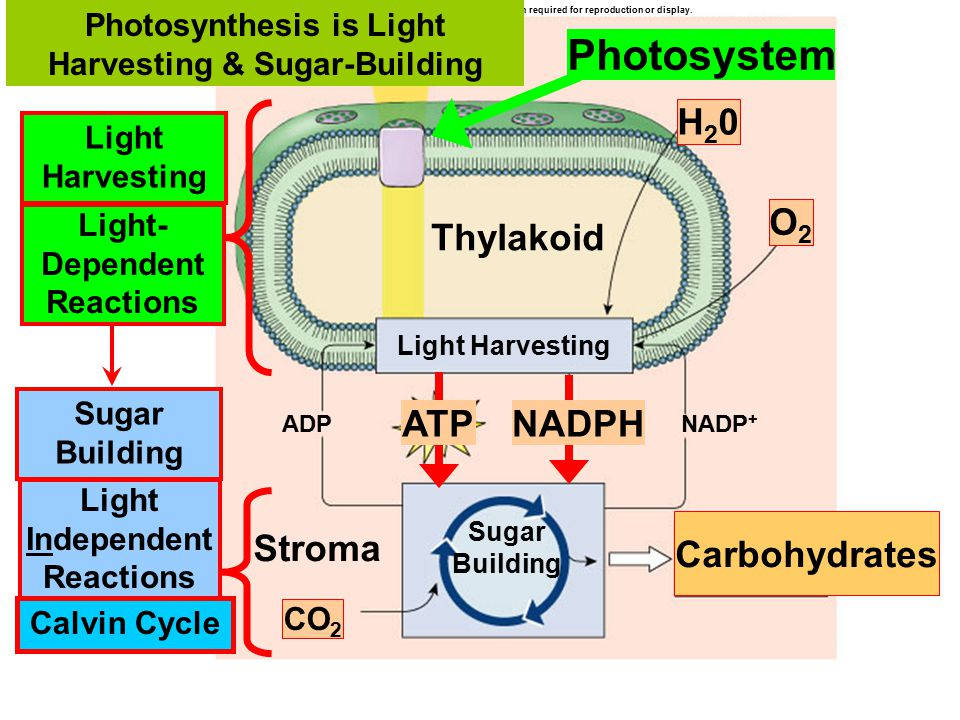 Photosynthesis is Light Harvesting & Sugar-Building