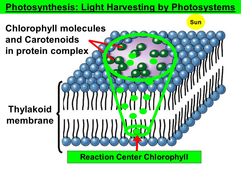 Photosynthesis: Light Harvesting by Photosystems Thylakoid membrane