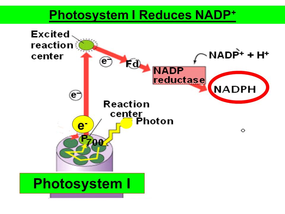 Photosystem I Reduces NADP+
