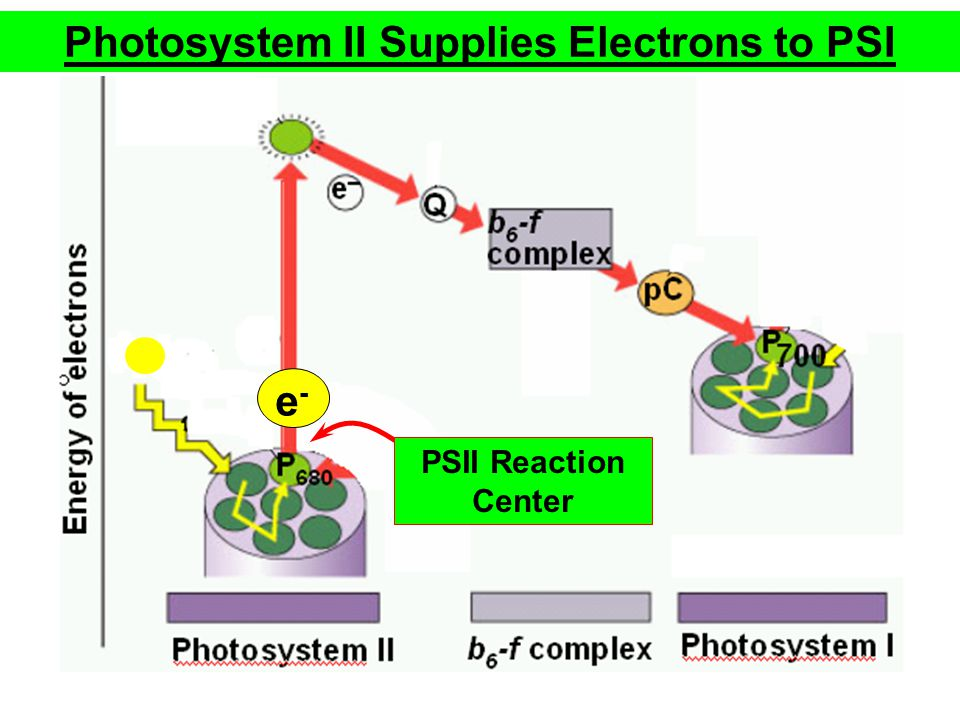 Photosystem II Supplies Electrons to PSI