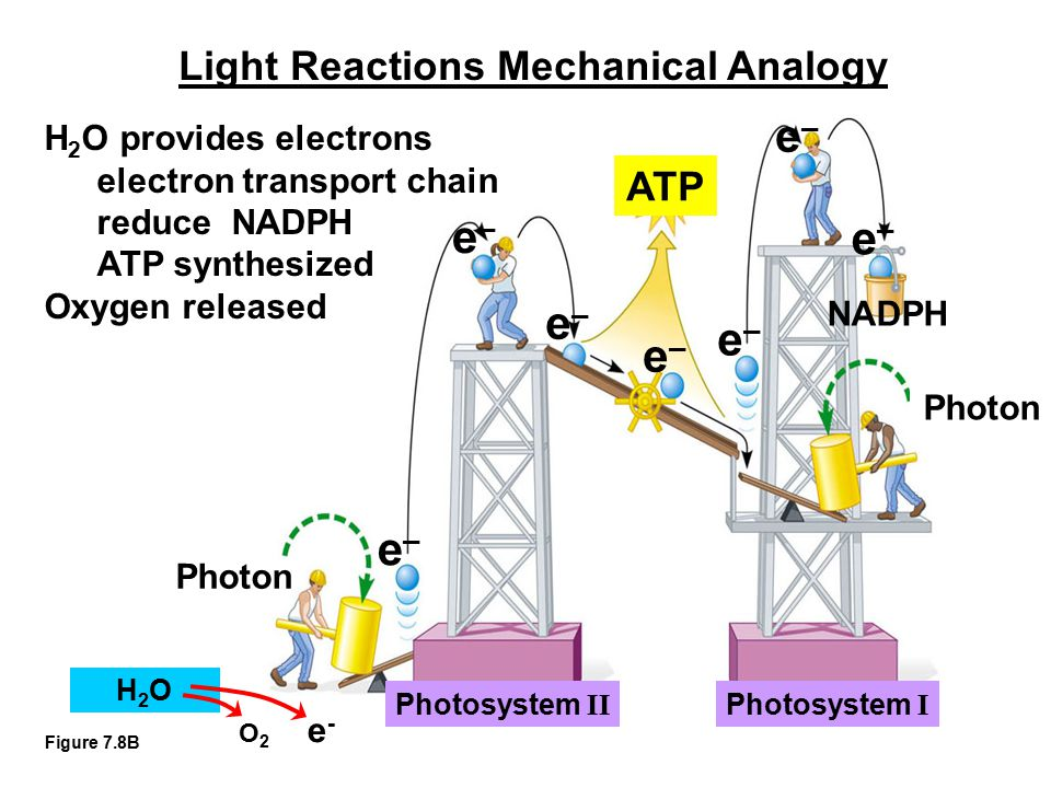 Light Reactions Mechanical Analogy