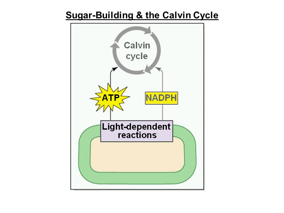 Sugar-Building & the Calvin Cycle