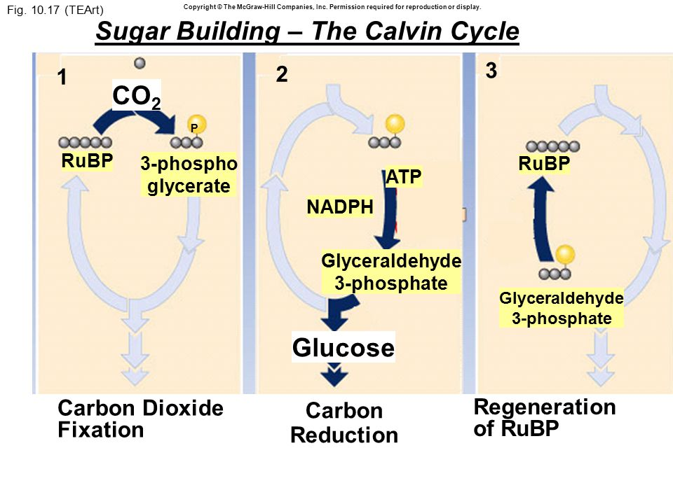 Sugar Building – The Calvin Cycle