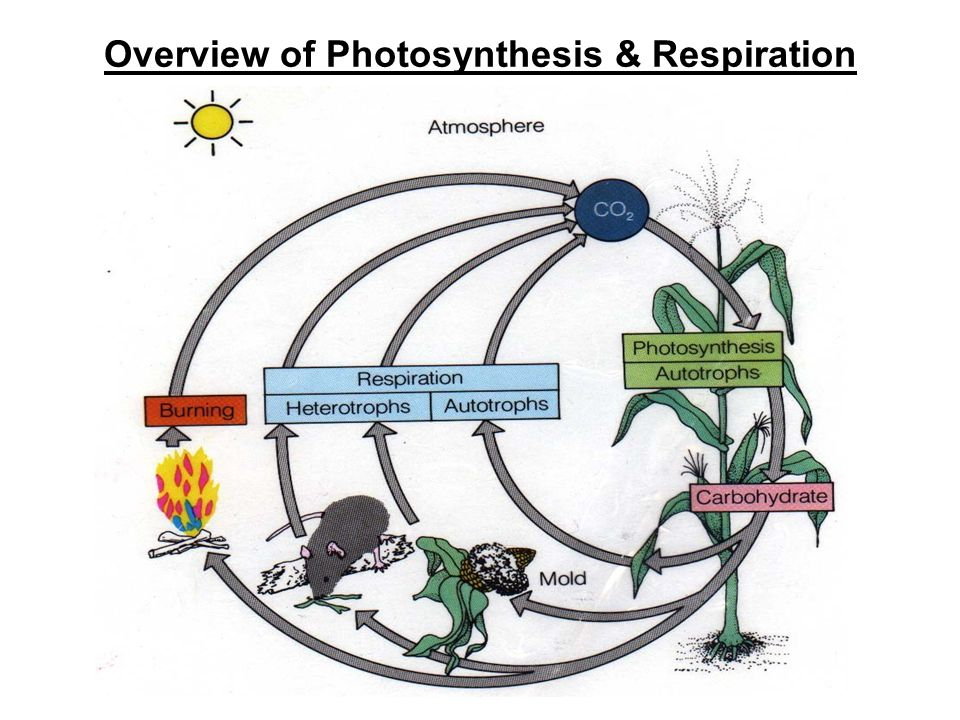 Overview of Photosynthesis & Respiration