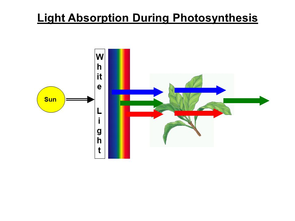 Light Absorption During Photosynthesis
