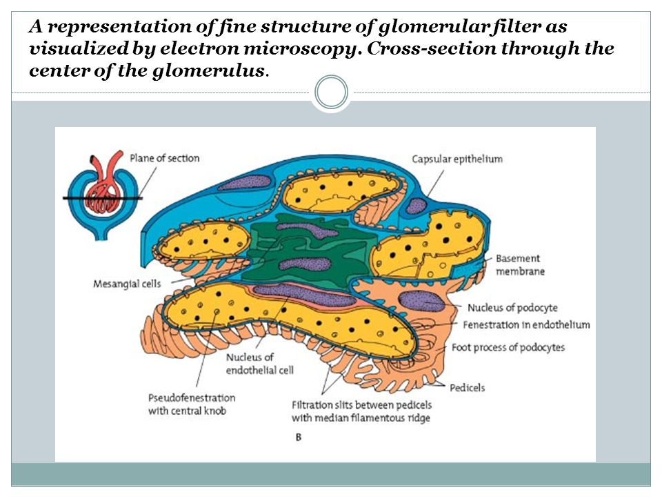 A representation of fine structure of glomerular filter as visualized by electron microscopy.