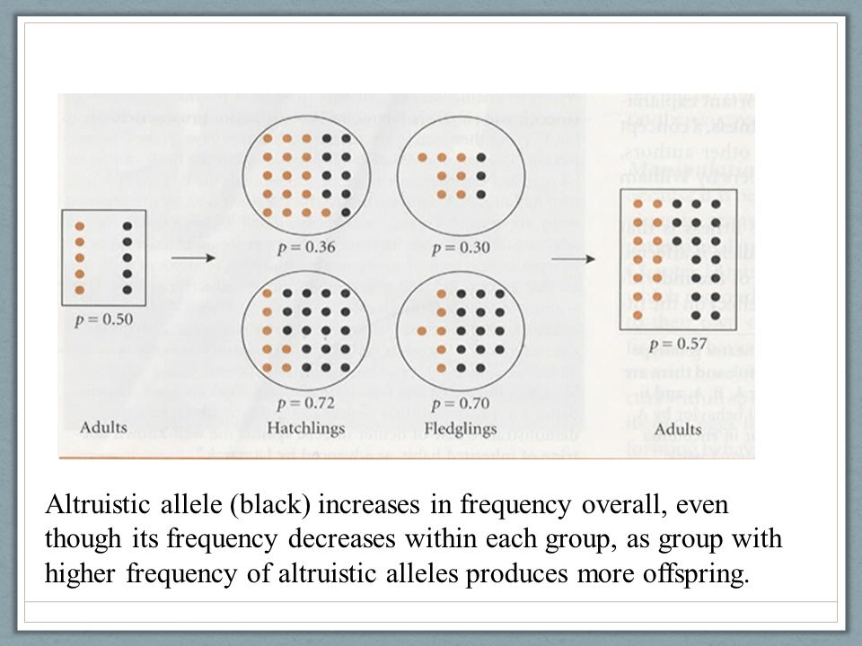 Altruistic allele (black) increases in frequency overall, even though its frequency decreases within each group, as group with higher frequency of altruistic alleles produces more offspring.