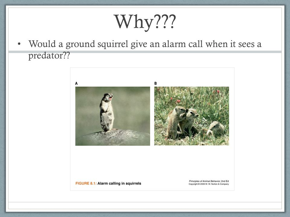 Why Would a ground squirrel give an alarm call when it sees a predator